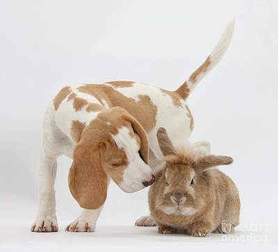 Beagle Pup Sniffing A Rabbit Print by Mark Taylor