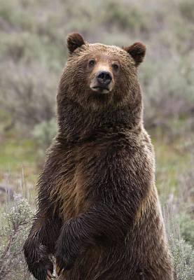 Photograph - Bear 399 by Steve Stuller