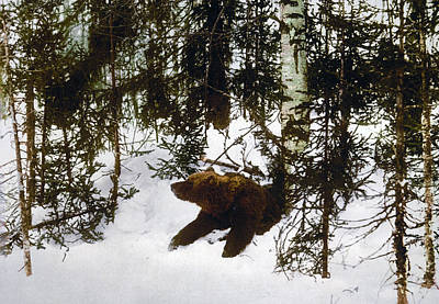 Hibernation Photograph - Bear Coming Out Of His Den by International  Images