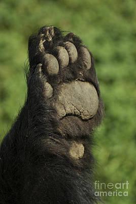 Bear Paw Art Print by Jenny May