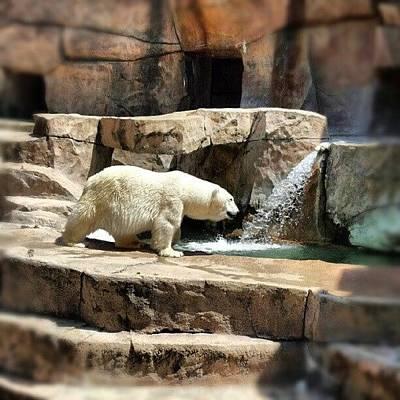 Skylines Wall Art - Photograph - #bear #polarbear #zoo #park #color by Bryan P