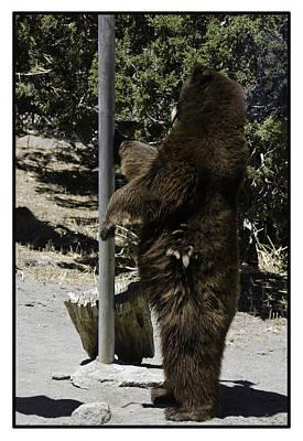 Bear Photograph - Bear Pole Dancing by LeeAnn McLaneGoetz McLaneGoetzStudioLLCcom