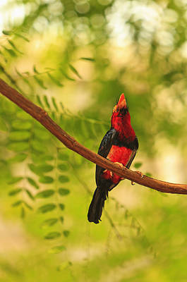 Bearded Barbet Art Print