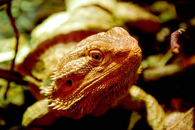 Photograph - Bearded Dragon by Anthony Citro