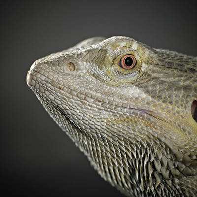 Part Of Photograph - Bearded Dragon by Darren Woolridge Photography - www.DarrenWoolridge.com