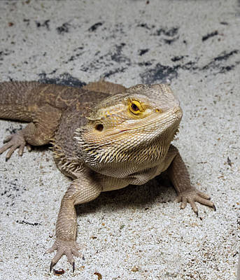 Photograph - Bearded Dragon by David Lester