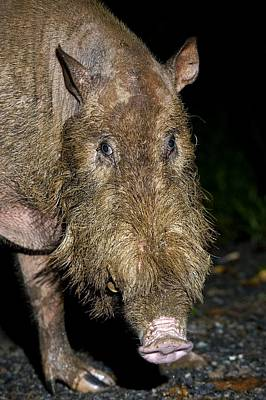 Danum Valley Conservation Area Photograph - Bearded Pig by Tony Camacho