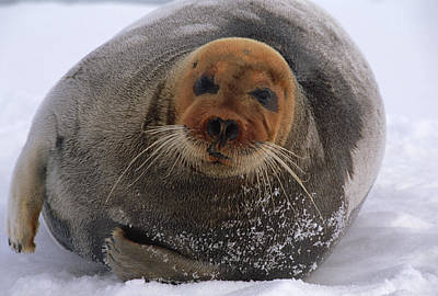 Bearded Seal Erignathus Barbatus Adult Art Print by Flip  Nicklin