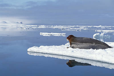 Bearded Seal Resting On Ice Floe Norway Art Print by Flip Nicklin