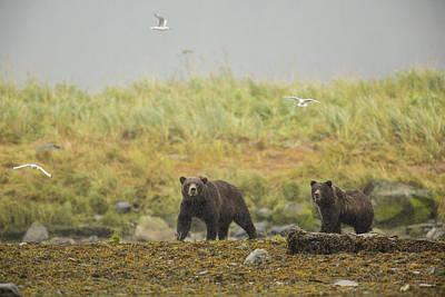 Prints Of Alaska Photograph - Bears In The Rain by Tim Grams