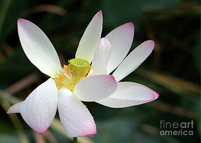 Photograph - Beatutiful Wet Lotus by Sabrina L Ryan