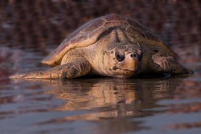 Caravaggio - Beaufort the Turtle by Susan Cliett