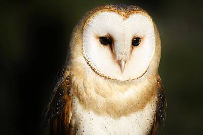 Beautiful Barn Owl Art Print by Paulette Thomas