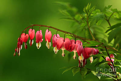 Beautiful Bleeding Hearts At Sunset Print by Inspired Nature Photography Fine Art Photography