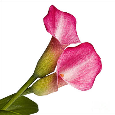 Photograph - Beautiful Callas by Cheryl Davis