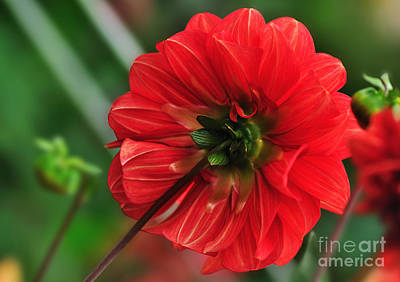 Of Dahlia Photograph - Beautiful In Red - Dahlia by Kaye Menner