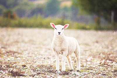 Sheep Portrait Photograph - Beautiful Little Lamb In English Countryside by Rosanna Bell