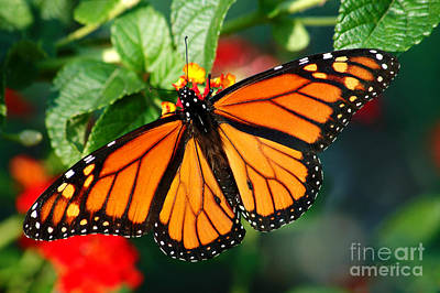 Photograph - Beautiful Monarch Butterfly by Cheryl Davis