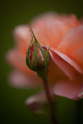Roses Royalty-Free and Rights-Managed Images - Beautiful Potential by Mike Reid
