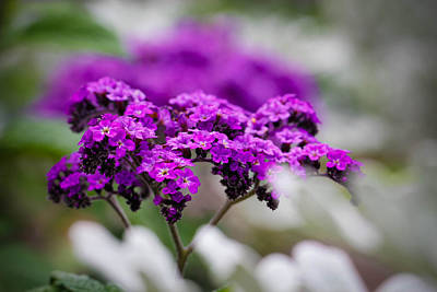 Photograph - Beautiful Purple by Christy Patino