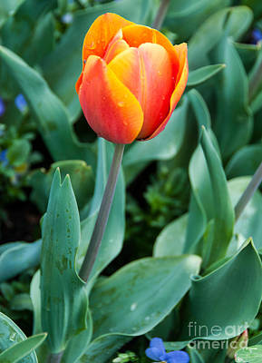 Photograph - Beautiful Red-orange Tulip by Fran Woods