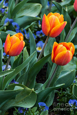 Photograph - Beautiful Red-orange Tulips by Fran Woods