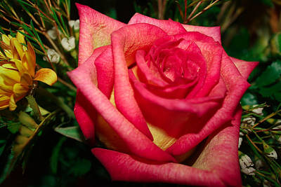 Photograph - Beautiful Rose by David Alexander