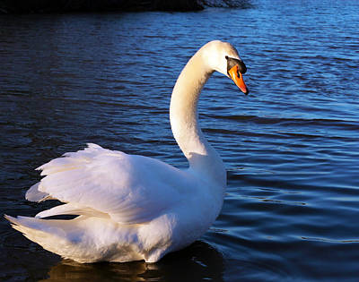 Beautiful Swan Original by Gordon Dean II
