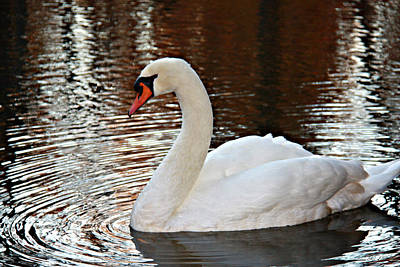 Photograph - Beautiful Swan by Sheila Kay McIntyre