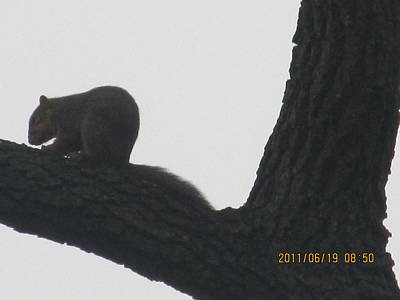 New Years Royalty Free Images - Beautiful Walnut Tree And Squirrel Royalty-Free Image by Tina M Wenger