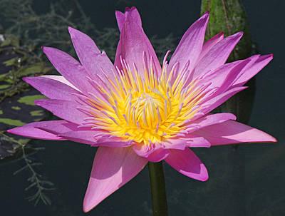 Beautiful Water Lily Art Print