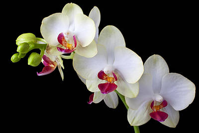 Beautiful White Orchids Art Print by Garry Gay