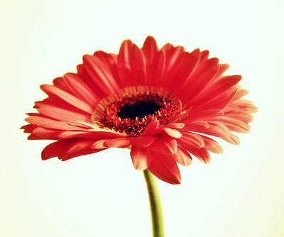 Gerber Daisy Photograph - Beauty Of One by Cathie Tyler