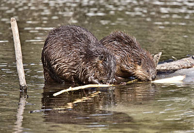 Just Desserts - Beaver at Work by Mark Duffy