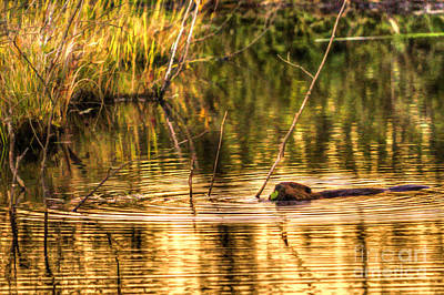 Beaver Eating Late Evening Art Print by Dan Friend