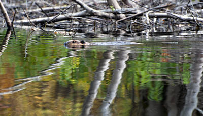 Photograph - Beaver by Glenn Gordon