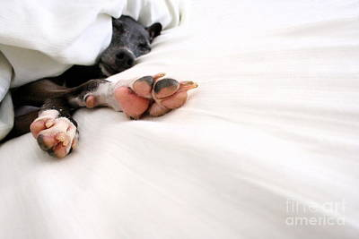 Rescued Greyhound Photograph - Bed Feels So Good by Angela Rath