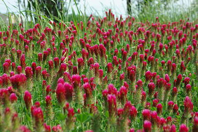 Crimson Clover Photograph - Bed Of Crimson by Robyn Stacey