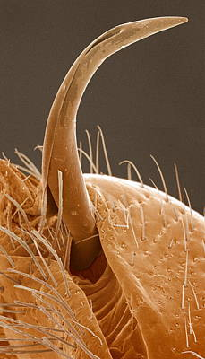 Sexual Human Nature Photograph - Bedbug Penis, Sem by Power And Syred