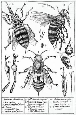 Bee Anatomy Historical Illustration Art Print by SPL and Photo Researchers
