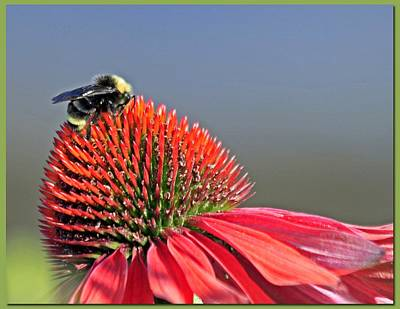 Photograph - Bee And Coneflower by Chris Anderson