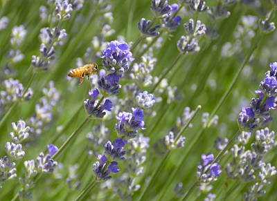 Photograph - Bee And Lavender by Loree Johnson