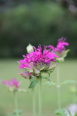 Photograph - Bee Balm by Rebecca Powers