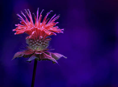 Bee Balm Photograph - Bee Balm by Shelley Neff