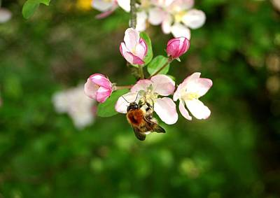 Photograph - Bee Blossom by Ed Lukas