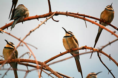 Photograph - Bee Eaters by Karol Livote