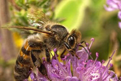 Photograph - Bee Feeding On Thyme by Paul Cowan