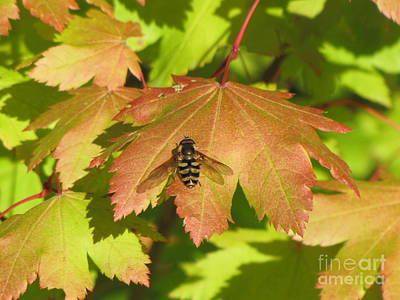 Photograph - Bee Fly On Maple Leaf by Michele Penner