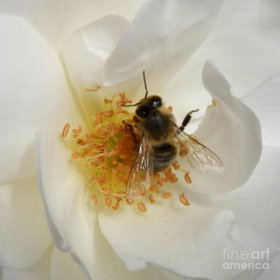 Bee In A White Rose Art Print by Lainie Wrightson