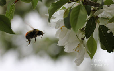 Photograph - Bee In Flight by Donna Munro